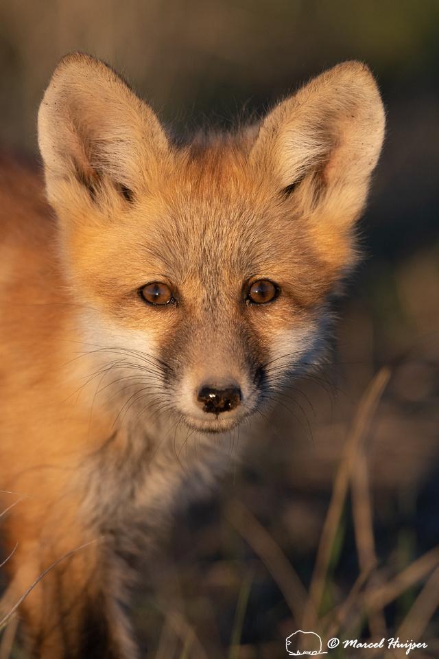 Red fox (Vulpes vulpes) kit portrait, Montana, USA