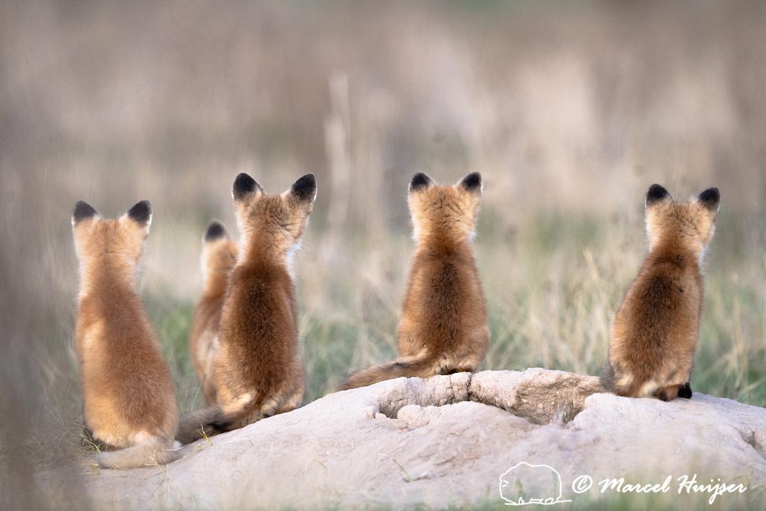 Red fox (Vulpes vulpes) kit waiting for mom, Montana, USA