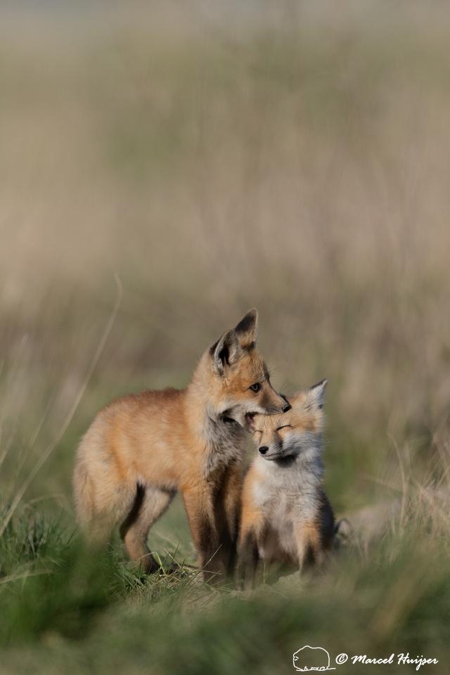 Red fox (Vulpes vulpes) kits, Montana, USA