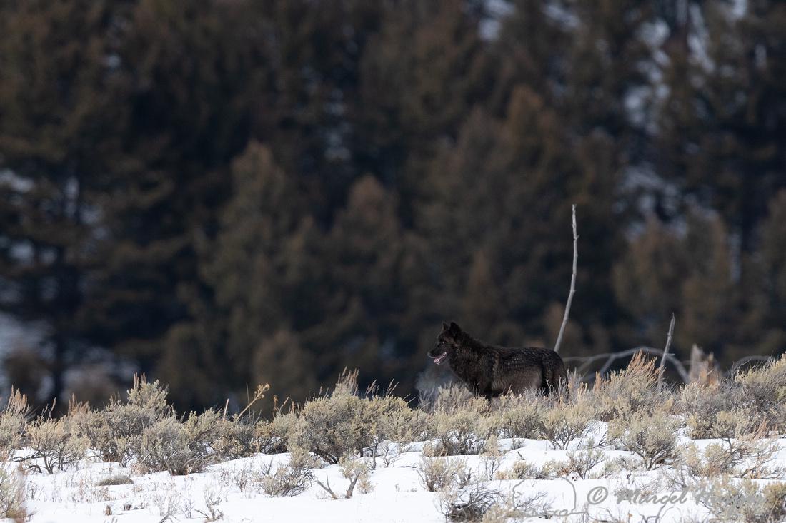 Black wolf from the Wapiti Pack, Elk Creek area, Yellowstone Nat