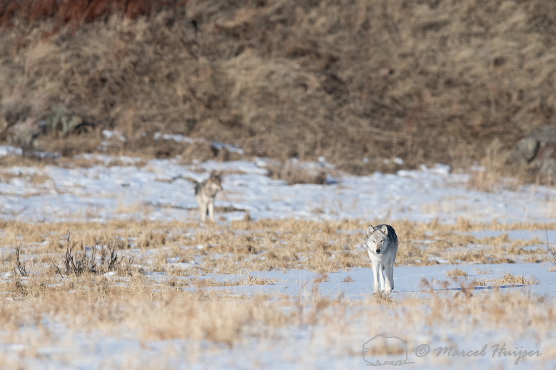 2 Gray wolves, near Soda Butte, Yellowstone National Park, Wyomi