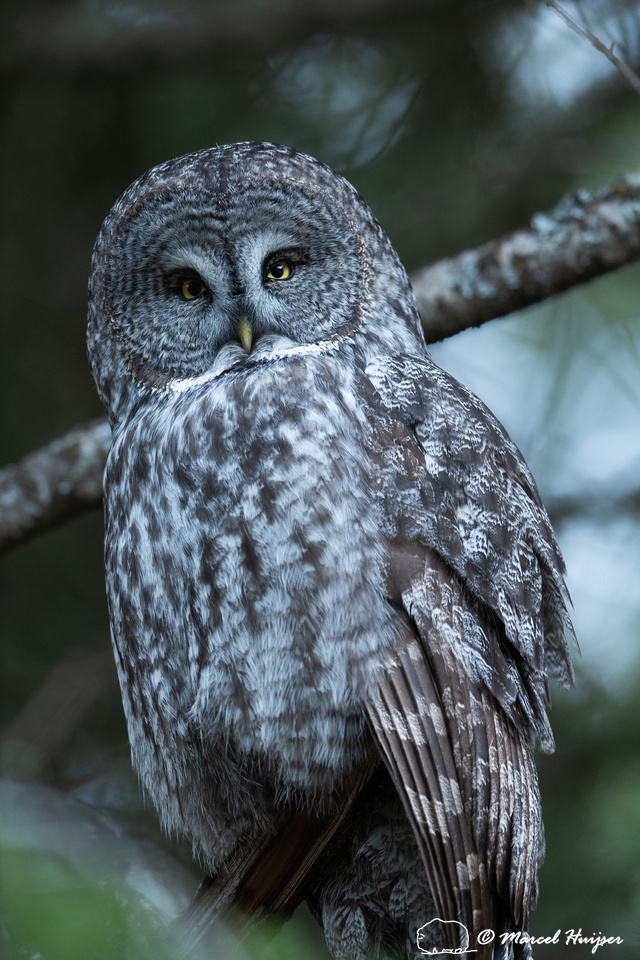 Great gray owl (Strix nebulosa), Montana