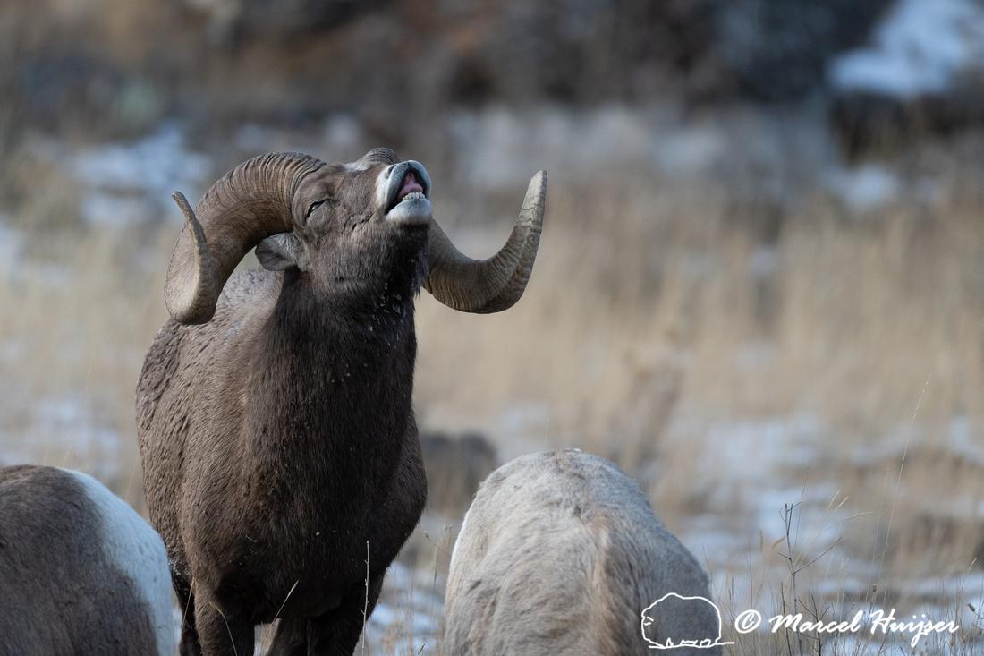 Bighorn sheep (Ovis canadensis) Montana, USA