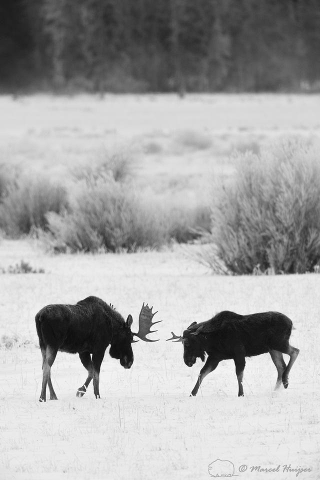 American moose (Alces americanus)  bulls sparring, Wyoming, USA