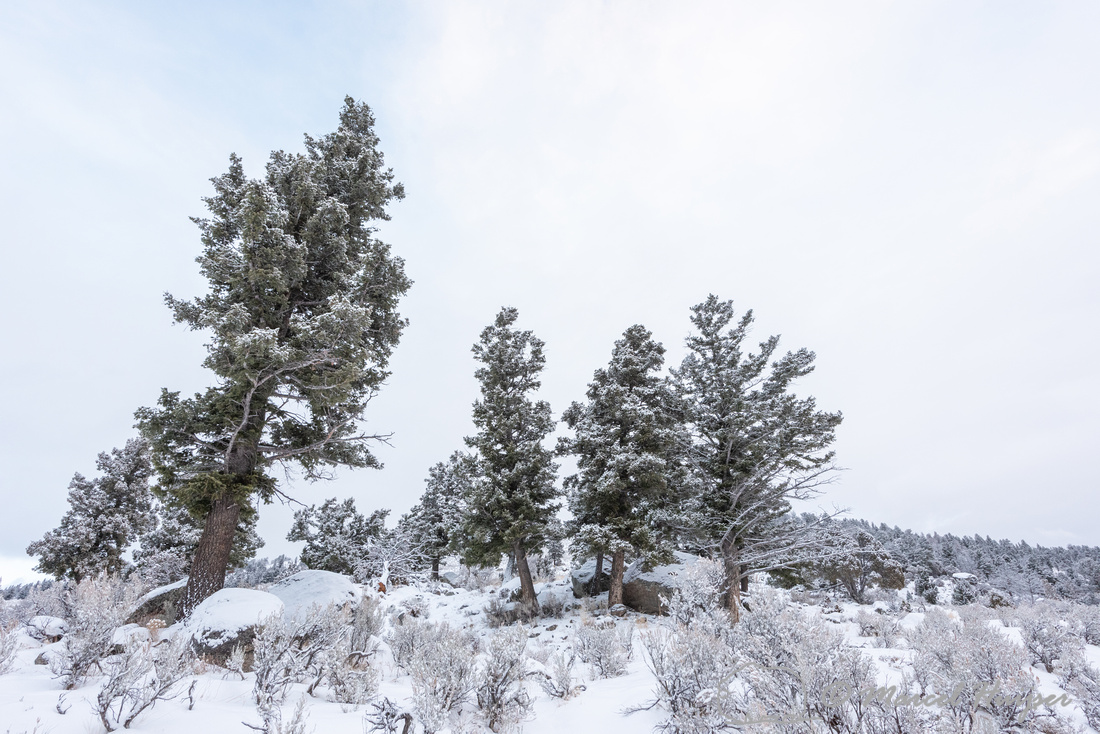 Trees in snow, Wyoming, USA
