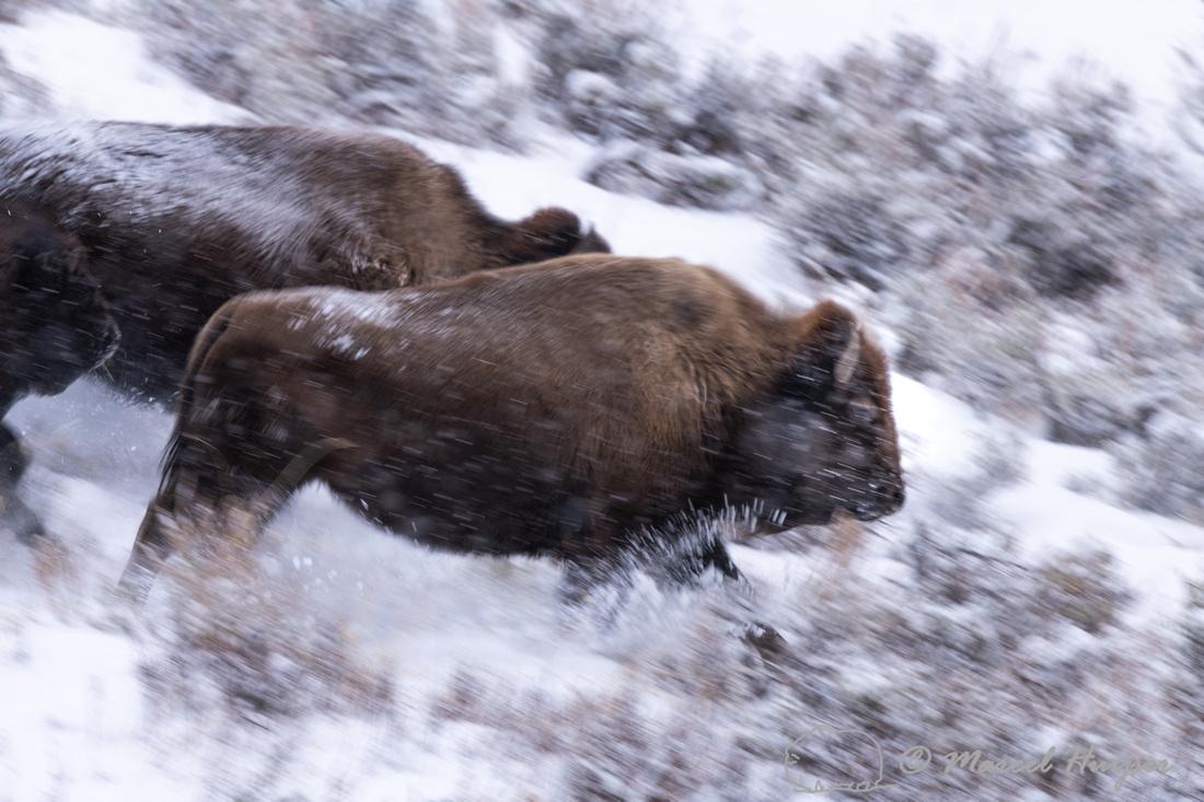 American bison (Bison bison) running downhill in a snow storm, W