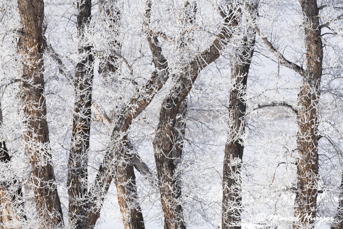 Ice fog on cottonwoods, Wyoming