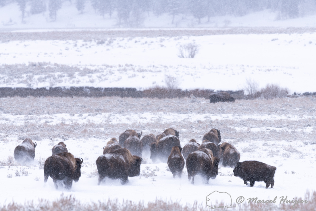 Bison (Bison bison) herd on the move, Wyoming