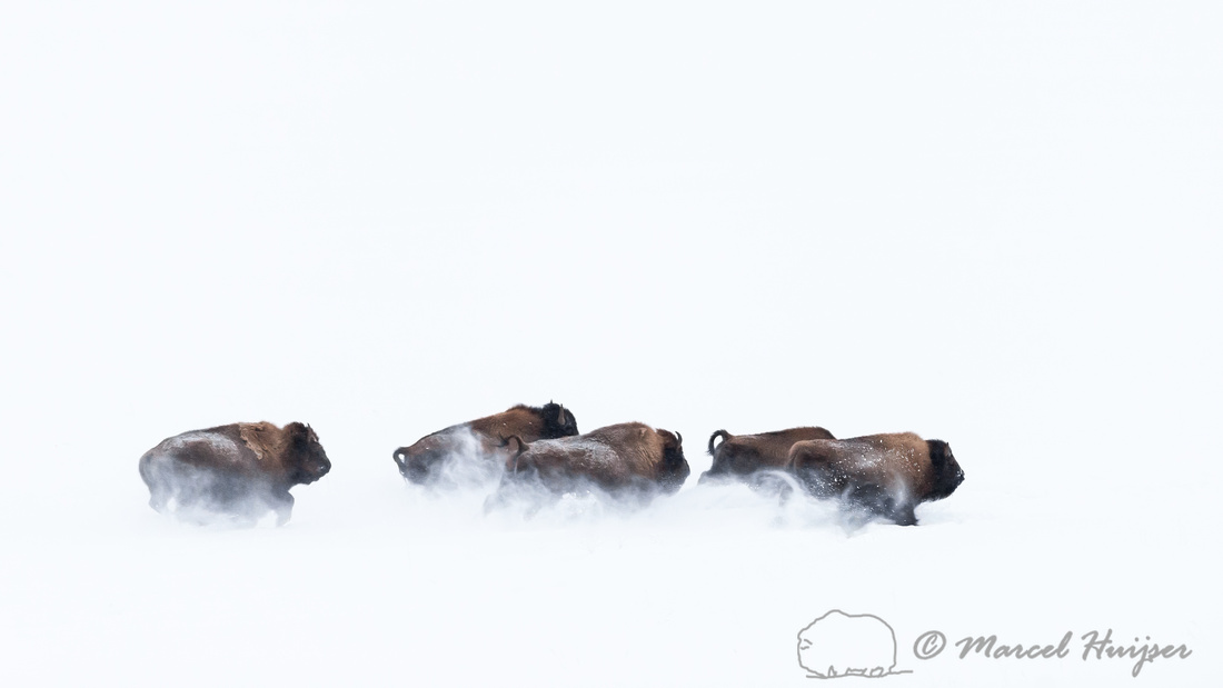 American bison (Bison bison) running in the snow, Wyoming, USA