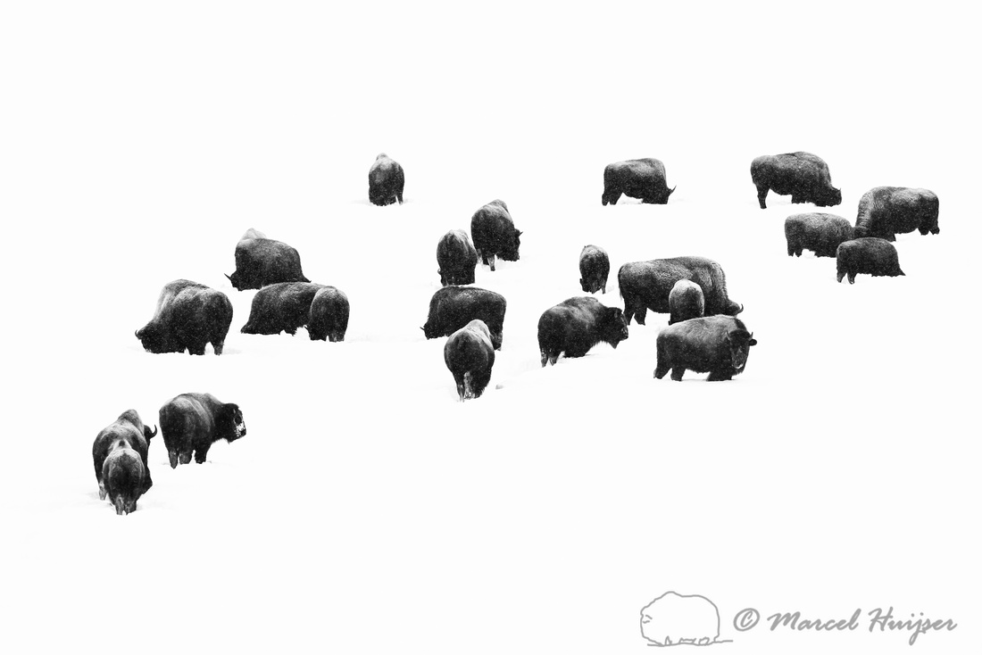 American bison (Bison bison) herd in the snow, Wyoming, USA