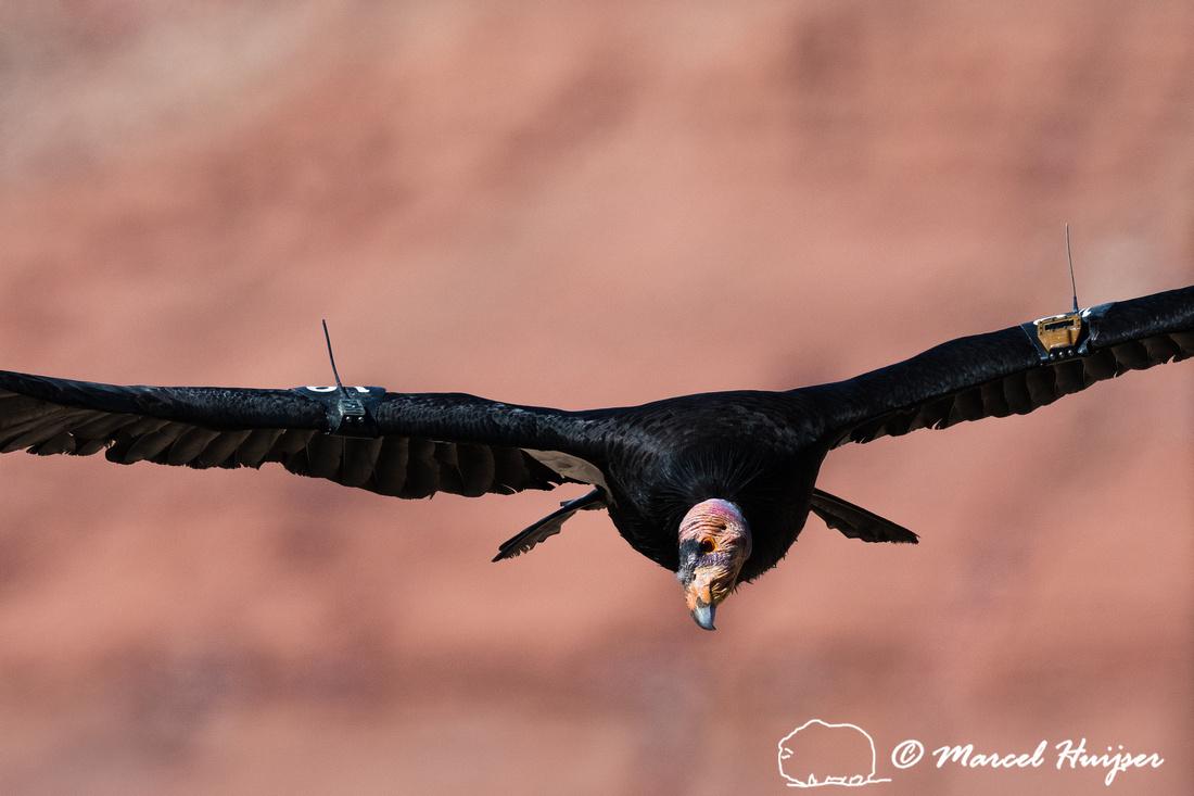 California condor (Gymnogyps californianus), Arizona, USA