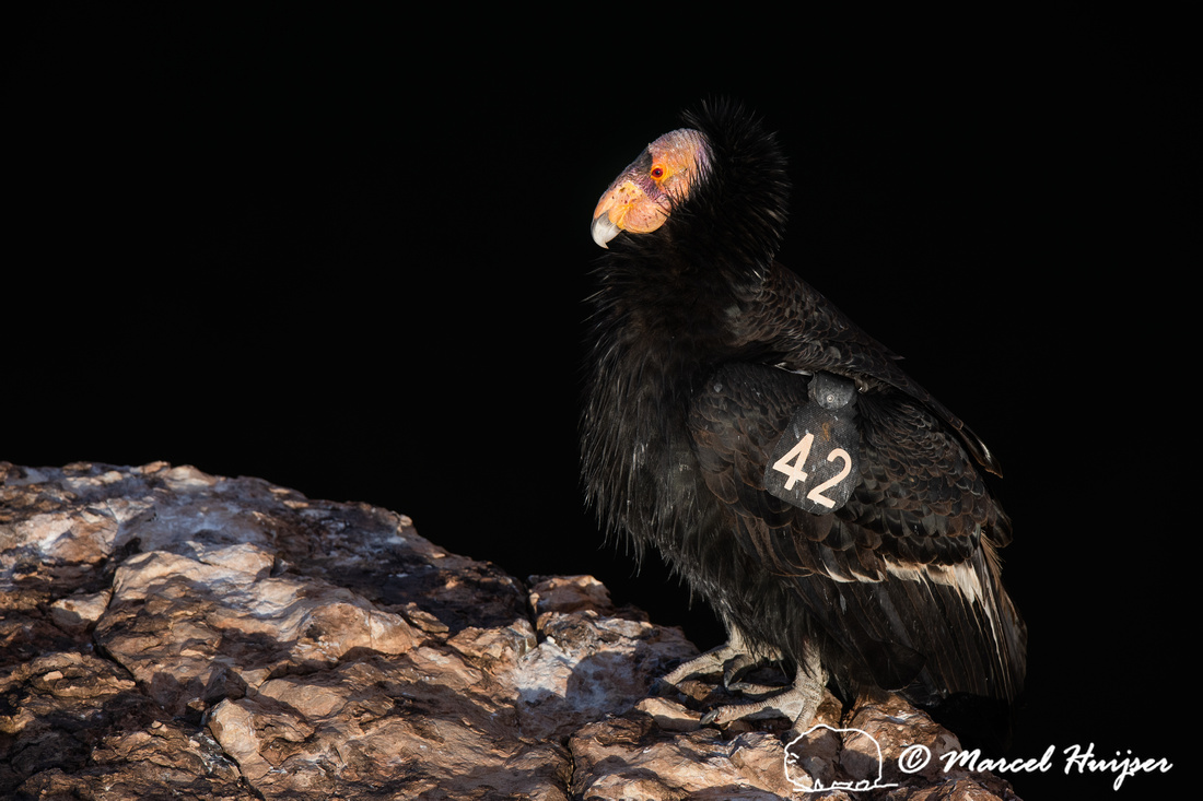 California condor (Gymnogyps californianus), Arizona, USA