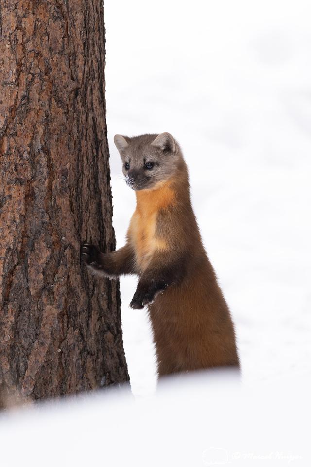 American pine marten (Martes americana), Montana