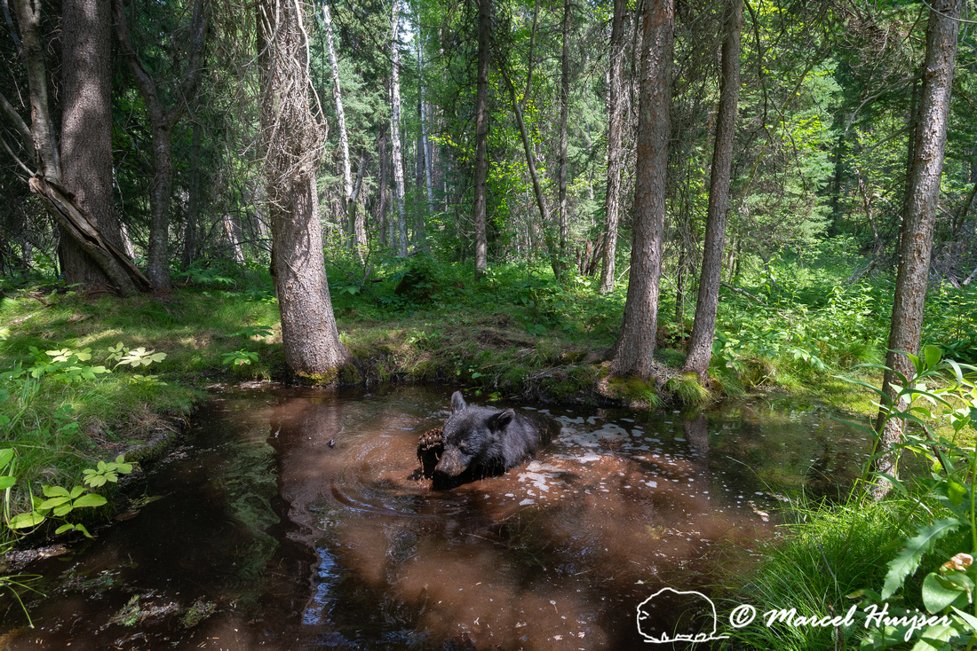 American black bear (Ursus americanus) bathing at a pond in fore