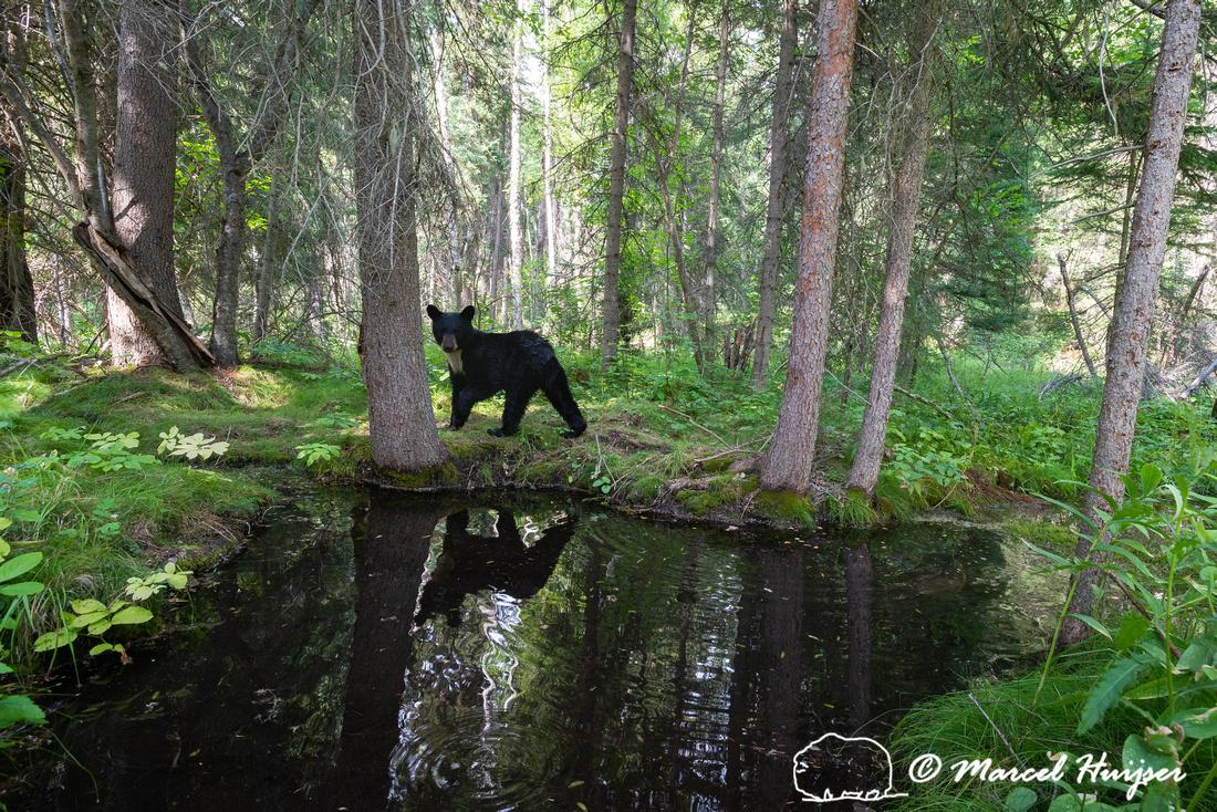 American black bear (Ursus americanus) has spotted the camera, M