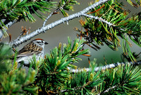 Chipping sparrow (Spizella passerina), Wyoming, USA