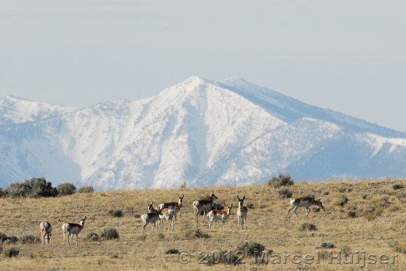 Pronghorn (Antilocapra americana) in sage brush and grassland with snow covered mountain, near Bannack, Montana, USA