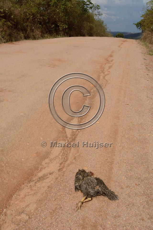 Chicken roadkill, near São José do Barreiro, Parque Nacional da Serra da Canastra, Minas Gerais, Brazil