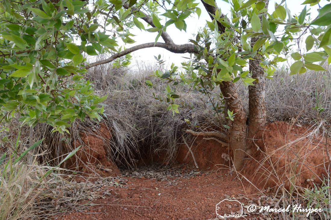 Burrow of  giant armadillo (Priodontes maximus), Parque Nacional da Serra da Canastra, Minas Gerais, Brazil