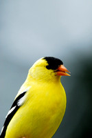 American goldfinch (Carduelis tristis), male, Missoula, Montana, USA