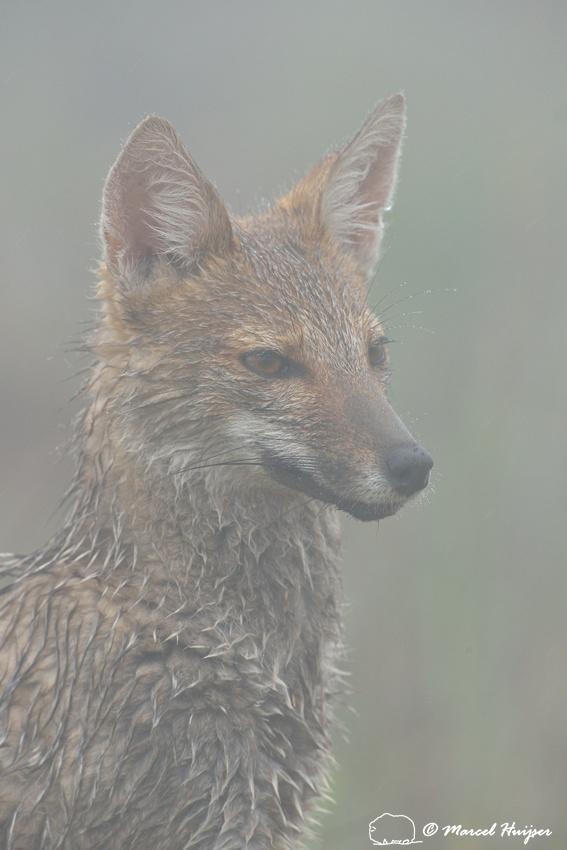Pampas fox (Lycalopex gymnocercus), Parque Nacional de Aparados da Serra, Rio Grande do Sul, Brazil