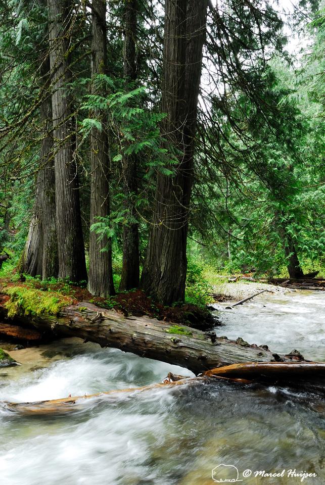 Western red cedar (Thuja plicata) grove along a tributary of the Lochsa River, Idaho, USA