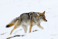 Coyote (Canis latrans), Wyoming, USA