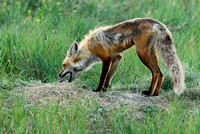 Red fox (Vulpes vulpes) returning to the den with prey (columbian ground squirrel), Montana, USA