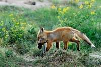 Red fox (Vulpes vulpes) kit carrying away and hiding prey (columbian ground squirrel), Montana, USA