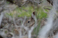 Pygmy rabbit (Brachylagus idahoensis), through big sagebrush, Montana, USA
