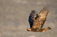 Golden eagle (Aquila chrysaetos) flying by at a sage grouse (Cen