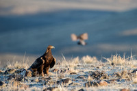 Golden eagle (Aquila chrysaetos) on ground at a sage grouse (Cen