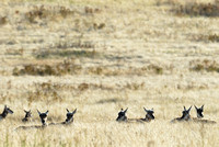 Pronghorn does (Antilocapra americana) bedded down in a grassland, Montana, USA