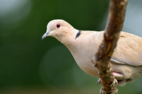 Eurasian collared-dove (Streptopelia decaocto), Missoula, Montana, USA