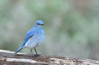 Mountain bluebird (Sialia currucoides), Wyoming, USA