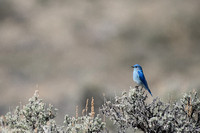 Mountain bluebird (Sialia currucoides), Montana, USA
