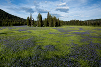 Common camas or blue camas (Camassia quamash), Packer meadows, L