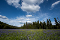 Common camas  or blue camas (Camassia quamash), Packer meadows,
