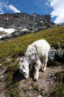 Mountain goat (Oreamnos americanus) shedding its winter coat, Mo