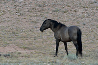 Free-roaming mustang (feral horse, sometimes called wild horse), Pryor Mountains Wild Horse Range, Montana, USA