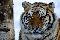 Amur tiger (Panthera tigris altaica) in the snow, Jilin Province (captive animal), China