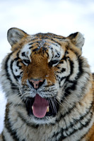 Amur tiger (Panthera tigris altaica) in the snow, Jilin Province, China
