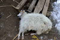 Dead goat at the farm where an Amur tiger (Panthera tigris altaica) killed and ate a dog of a farmer, Jilin Province, China