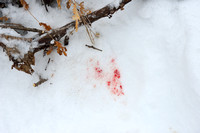 Blood of the dog killed by an Amur tiger (Panthera tigris altaica), Jilin Province, China