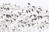 LIMITED EDITION Migrating snow geese (Chen caerulescens) flying above grain fields near Freezout Lake, Fairfield, Montana, USA