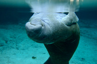 West Indian manatee (Trichechus manatus), Crystal River, Kings Bay, Florida, USA.