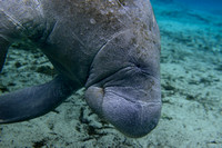 West Indian manatee (Trichechus manatus), Crystal River, Kings Bay, Florida, USA