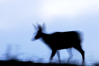 Mule deer (Odocoileus hemionus) doe against an evening sky, Montana, USA