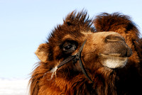 Domesticated bactrian camel (Camelus bactrianus), near Omnodelger, Khentii, Mongolia