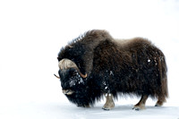 LIMITED EDITION Muskox (Ovibos moschatus) in a snowy lanscape, Dovrefjell National Park, Norway